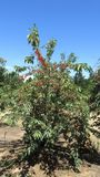 Cherry Picking Farm dentro Ceres immagini stock
