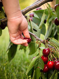 Cherry picking Royalty Free Stock Image
