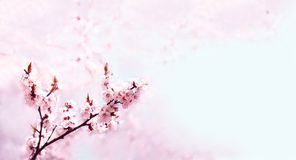 Cherry pink blossoms close up. Blooming cherry tree. Spring floral background. Copy space,Wide format. Cherry pink blossoms close up. Blooming cherry tree Royalty Free Stock Photos
