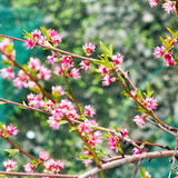 Cherry pink flower on a tree Stock Photography