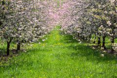 Cherry pink tree orchard with grass path, Czech landscape.  stock photography