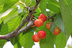 Cherry in a plantation Royalty Free Stock Photos