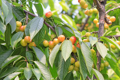 Cherry in a plantation Stock Images