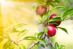 Free Cherry-plum Royalty Free Stock Images - 42334869
