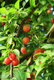 Cherry Plum Royalty Free Stock Photo