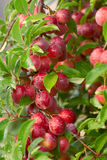 Cherry-plum. Branch (approximate type Royalty Free Stock Photos