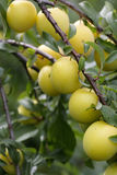 Cherry plum. Yellow ripe plum growing on the tree Royalty Free Stock Photo