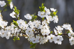 Cherry plum bloom. Spring. Close view of alycha blossom royalty free stock photo