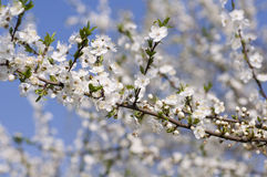 Cherry plum bloom. Spring. Close view of alycha blossom royalty free stock photography
