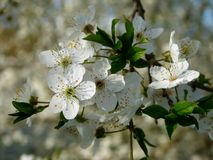 Cherry-plum blossoms Royalty Free Stock Images