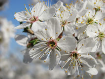 The cherry plum blossoms. Close up of the blooming branch of the fruit tree royalty free stock images