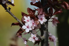 Cherry Plum Blossoms Stock Photo