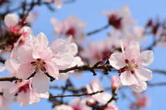 Cherry plum blossoms in spring Stock Photo