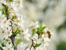 Cherry plum blossoms in spring Royalty Free Stock Photo