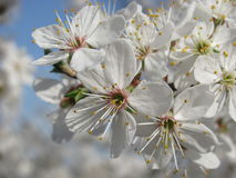 The cherry plum blossoms. springtime. Close up view of the blooming fruit tree branch at spring Royalty Free Stock Image