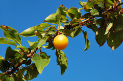 Cherry plum branch against blue sky Royalty Free Stock Photography