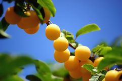 Cherry plum branch against blue sky Royalty Free Stock Photo