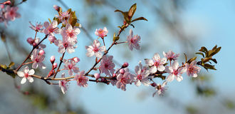 Cherry plum branch in blossom Royalty Free Stock Photo