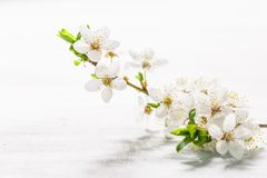 Cherry plum branch in blossom on white royalty free stock images