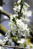 Cherry plum branches blooming in a garden in spring, background, backdrop stock photos