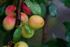 Cherry plum royalty free stock photos