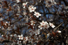 Cherry plum royalty free stock images