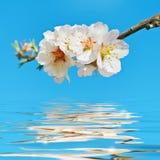 Cherry Plum di fioritura Fotografia Stock