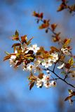 Cherry plum flowers Royalty Free Stock Photography