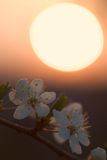 Cherry-plum flowers over sunset Stock Photos