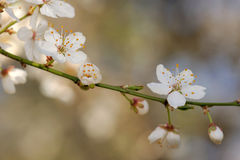 Cherry plum flowers Royalty Free Stock Images