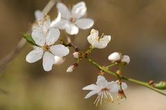 Cherry plum flowers Stock Photography