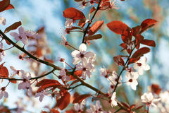 Cherry Plum Royalty Free Stock Photo