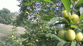 Cherry plum in fruit orchard. stock footage