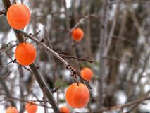 Cherry plum fruits hang on the branches stock photos