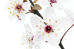 Cherry Plum or Myrobalan Blossoms. Format filling as background Stock Photography