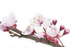Cherry Plum or Myrobalan Blossoms. Format filling as background Royalty Free Stock Images