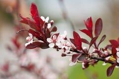 Cherry Plum- oder Myrobalan-Pflaume (Prunus cerasifera) Stockfotos