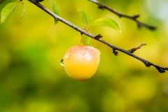 Cherry plum Stock Photo