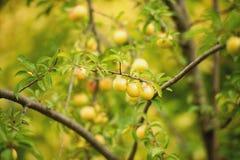 Cherry plum Stock Image