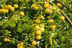 Cherry plum Royalty Free Stock Photography