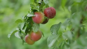 Cherry-plum plums on the tree leaves and nature green background stock video footage