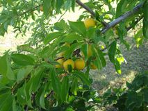 The fruits of cherry plum woody in the summer garden. royalty free stock images