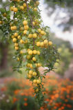 Cherry plum Royalty Free Stock Photography