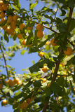 Cherry plum on the tree. In the bright day Stock Photos