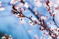 Cherry plum tree bloom. Branch of a purple leaf plum tree Prunus cerasifera Stock Photos