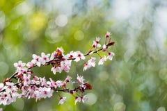 Cherry plum tree bloom. Branch of a purple leaf plum tree Prunus cerasifera Royalty Free Stock Image