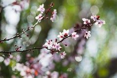 Cherry plum tree bloom. Branch of a purple leaf plum tree Prunus cerasifera Stock Photo