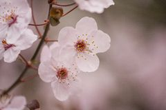 Cherry plum tree blossom Stock Images
