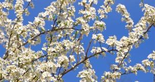 Cherry Plum Tree Flowers In Spring branco video estoque