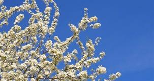 Cherry Plum Tree Flowers In Spring branco vídeos de arquivo